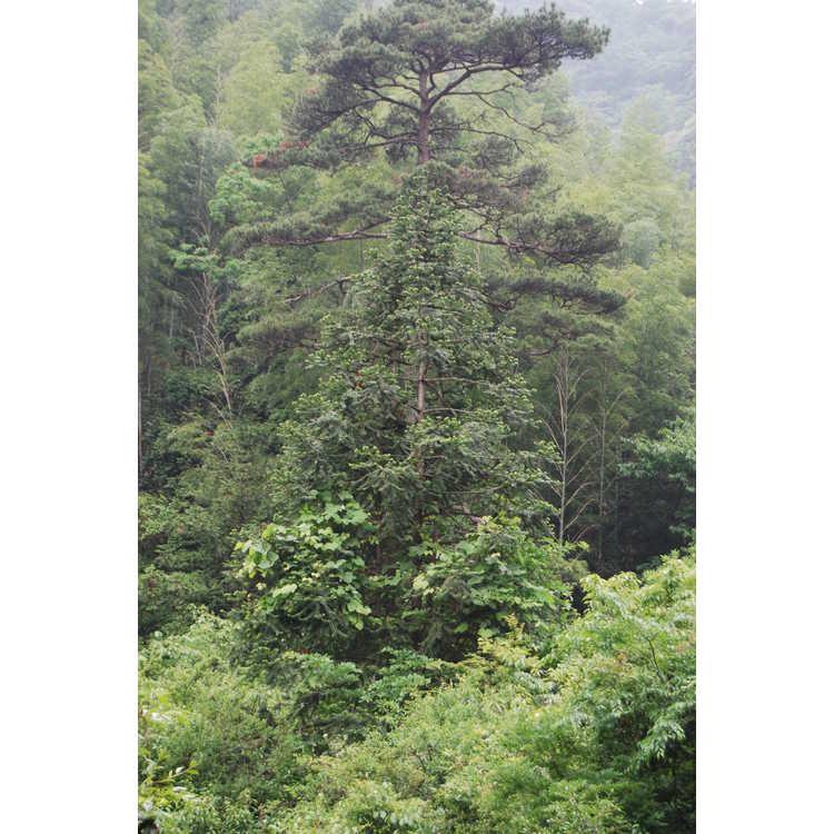 Cunninghamia lanceolata - China-fir
