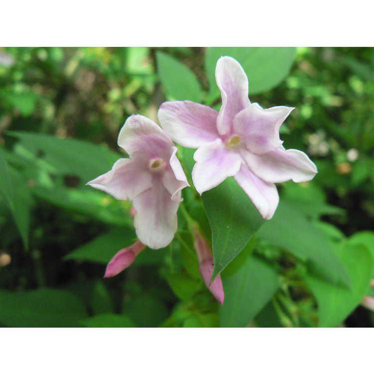 Jasminum ×stephanense - pink jasmine