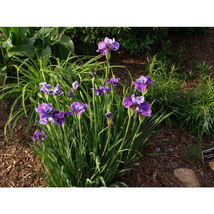 Iris sibirica 'Roaring Jelly'