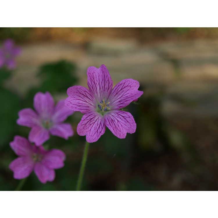 Geranium oxonianum Claridge Druce