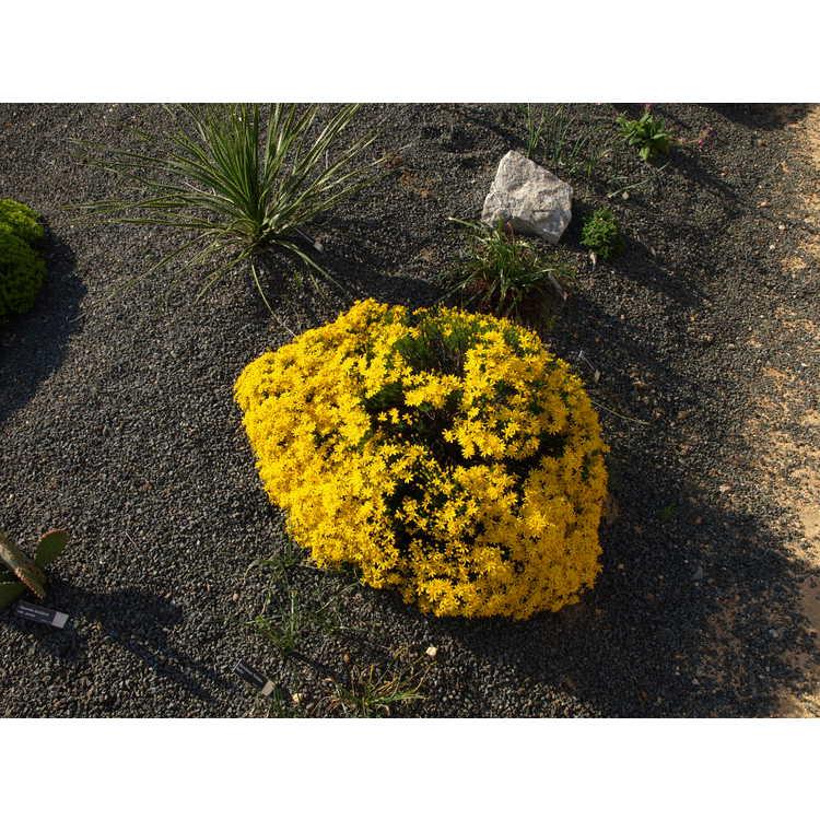 Chrysactinia mexicana - damianita