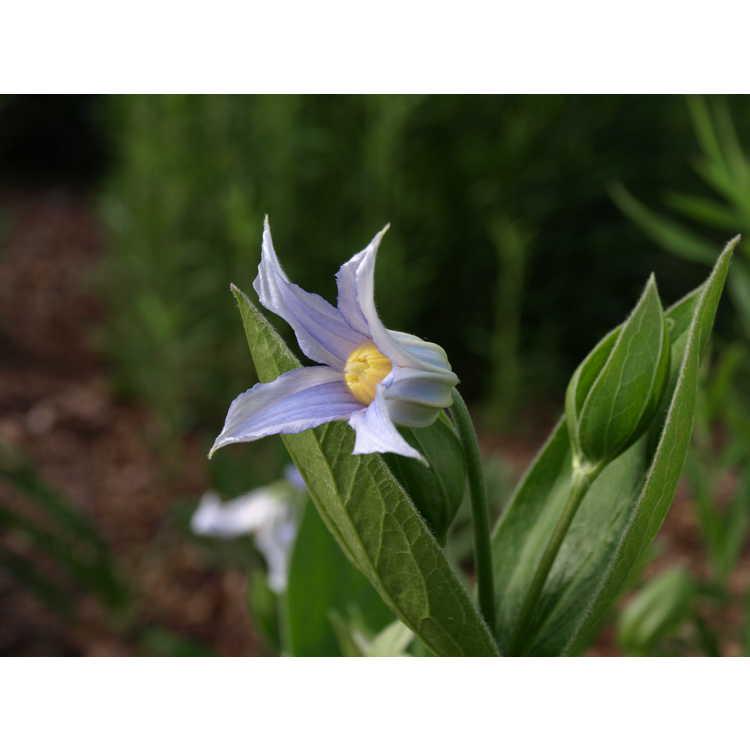 Clematis integrifolia Alba