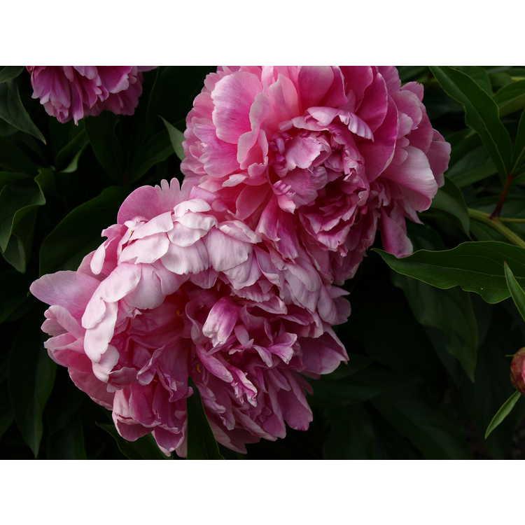 Paeonia lactiflora Karl Rosenfield