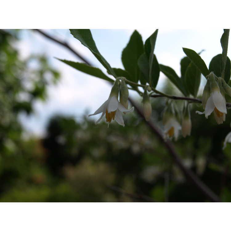 Styrax americanus var. pulverulentus - American snowbell