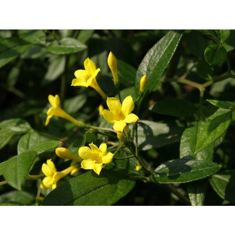 Jasminum iraidii - shrub jasmine