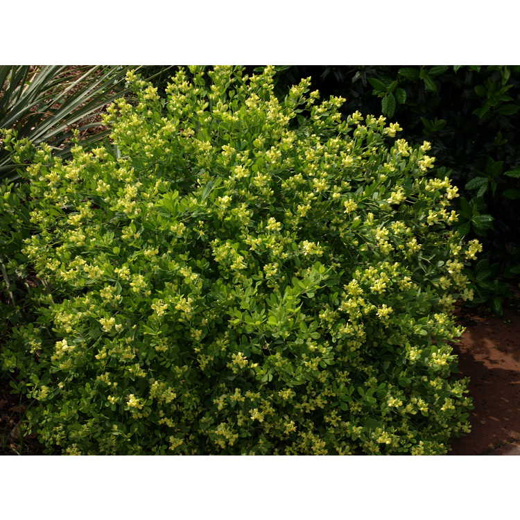 Baptisia nuttalliana - Nuttall's wild-indigo