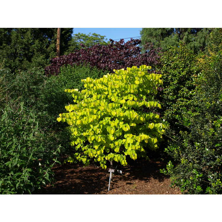 Cercis canadensis 'Hearts of Gold' - gold-leaf eastern redbud