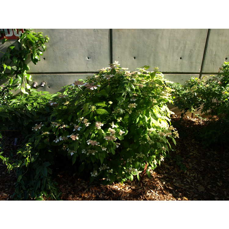 Hydrangea serrata Kurenai