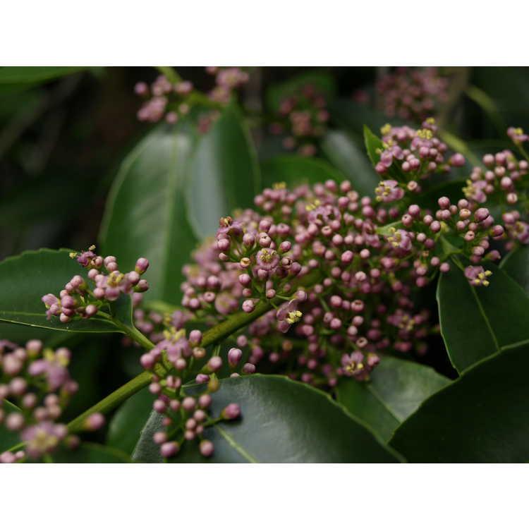 Ilex purpurea - peachleaf holly