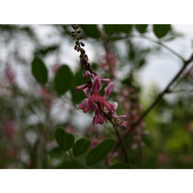 Indigofera dielsiana - Yunnan indigo
