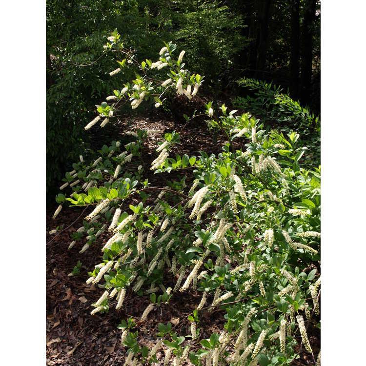 Itea virginica 'Longspire' - Virginia sweetspire