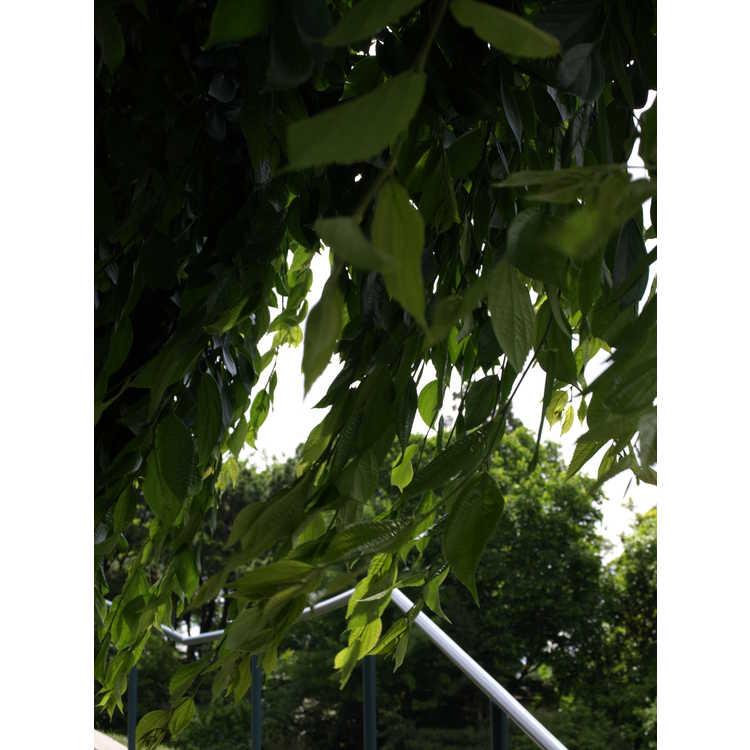 Celtis sinensis 'Green Cascade'