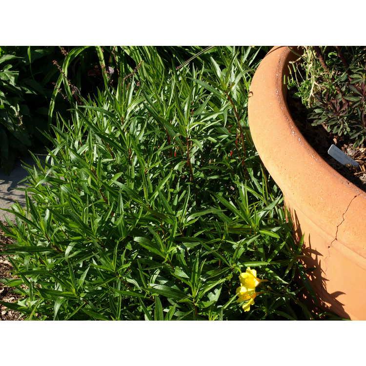 Lobelia laxiflora var. angustifolia - Mexican lobelia