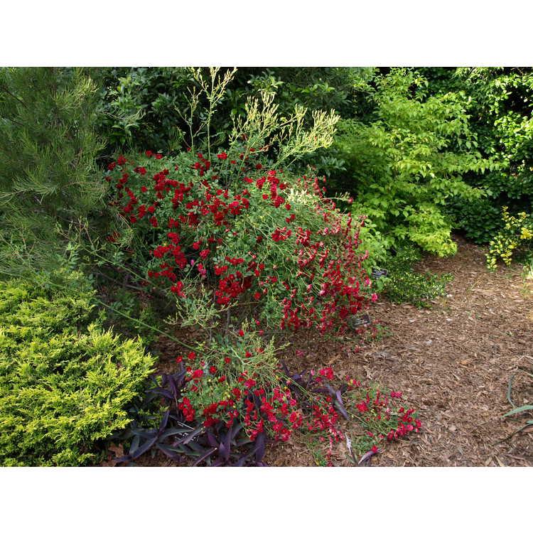 Rosa Fryclimbdown Crimson Cascade