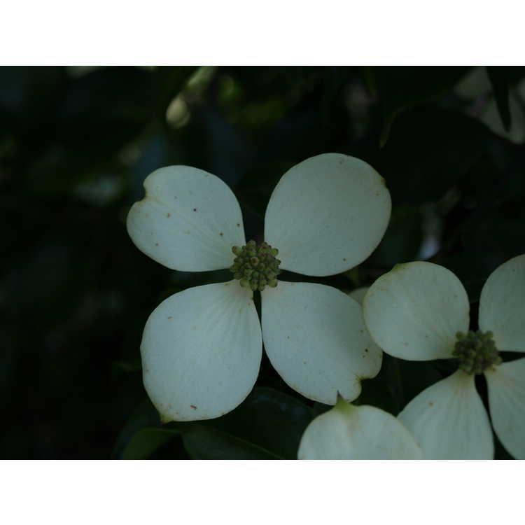 Cornus capitata emeiensis