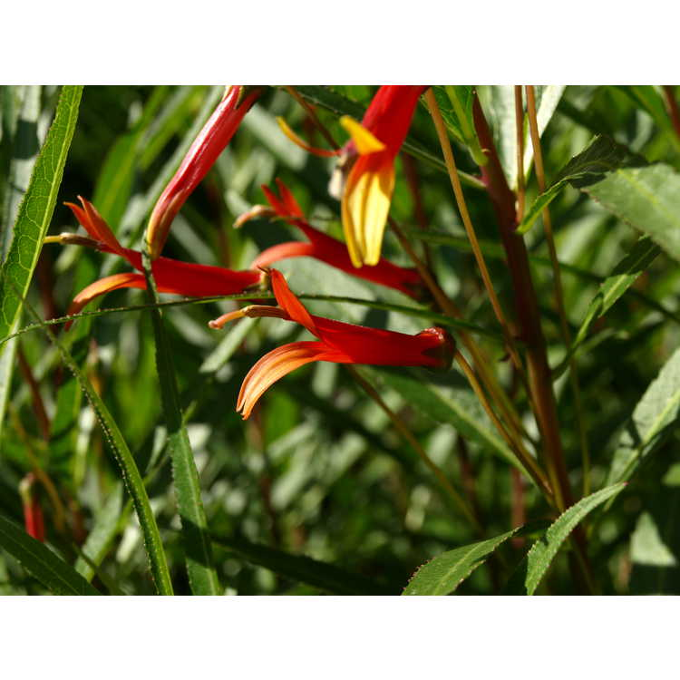 Lobelia laxiflora angustifolia