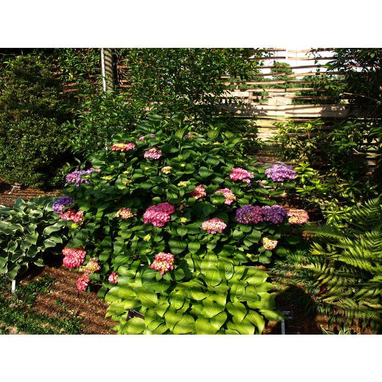 Hydrangea macrophylla Oregon Pride