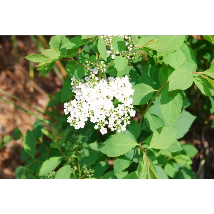 Spiraea media - Russian spirea