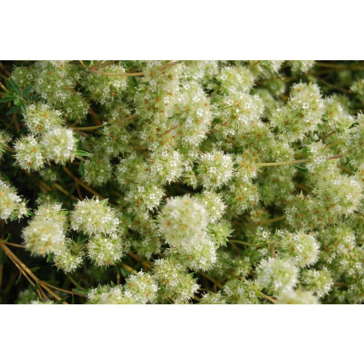 Thymus mastichina - herb mastic