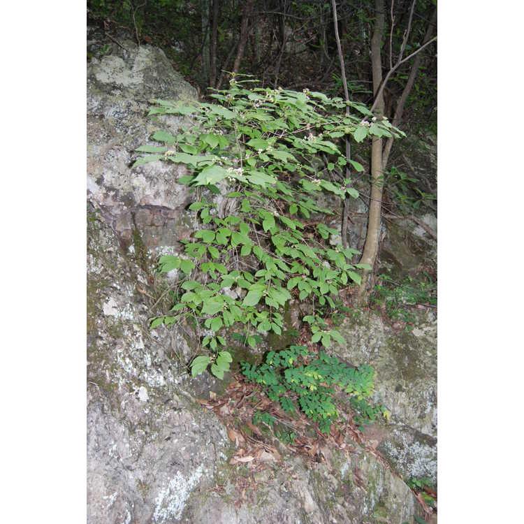 Callicarpa - beautyberry