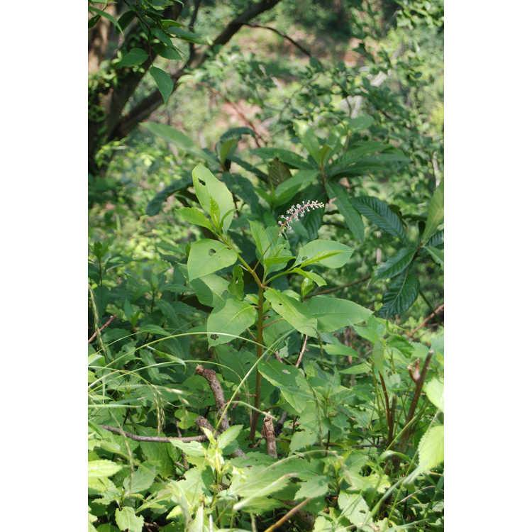 Phytolacca acinosa - pokeweed