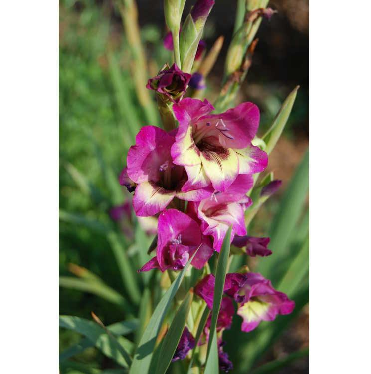 Gladiolus 'Flevo Amico'