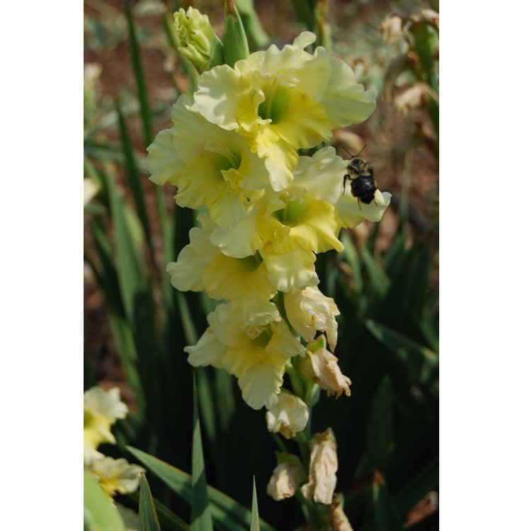 Gladiolus 'Flevo Jive'
