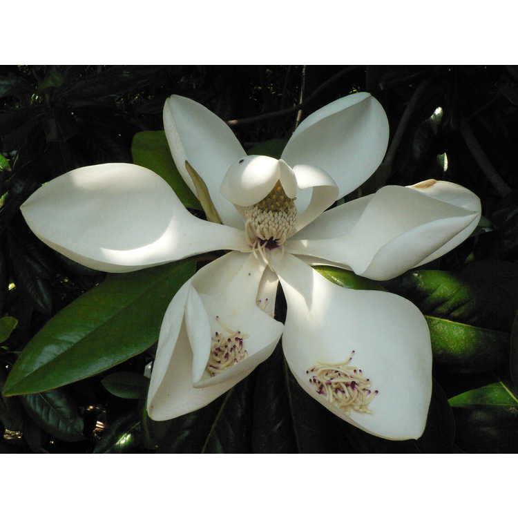 Magnolia grandiflora 'Poconos' - Southern magnolia