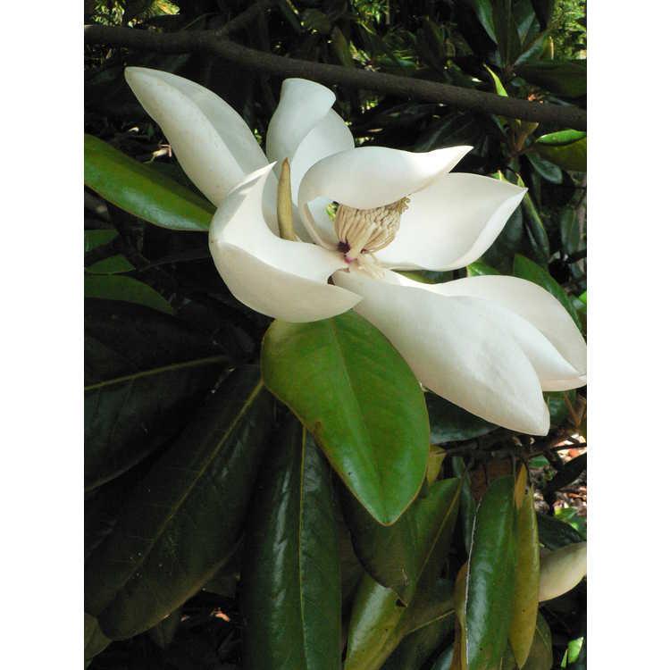Magnolia grandiflora Poconos