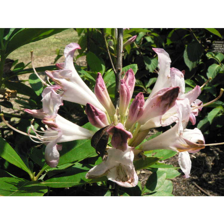 Rhododendron Fragrant Affinity