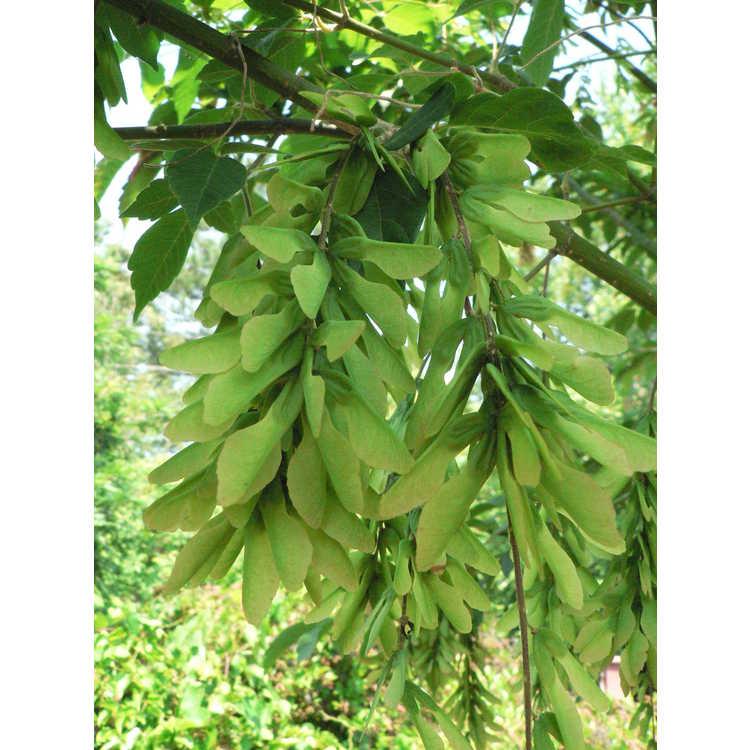 Acer henryi