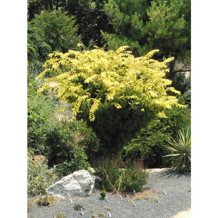 Zelkova serrata 'Ogon' - golden Japanese zelkova