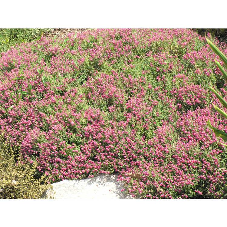 Scutellaria suffrutescens Texas Rose