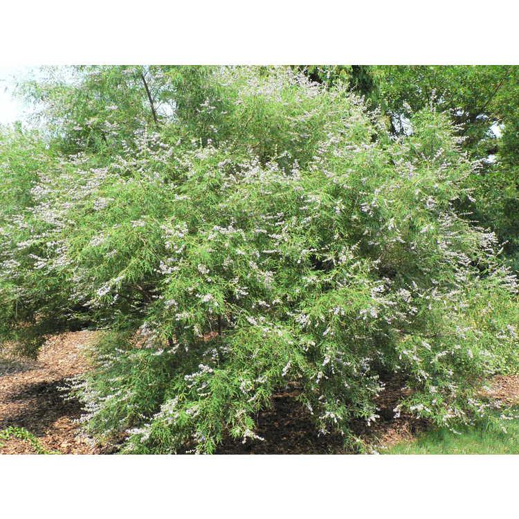 Vitex negundo var. heterophylla - cutleaf chaste tree