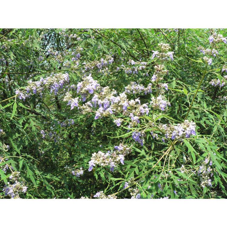 Vitex negundo heterophylla