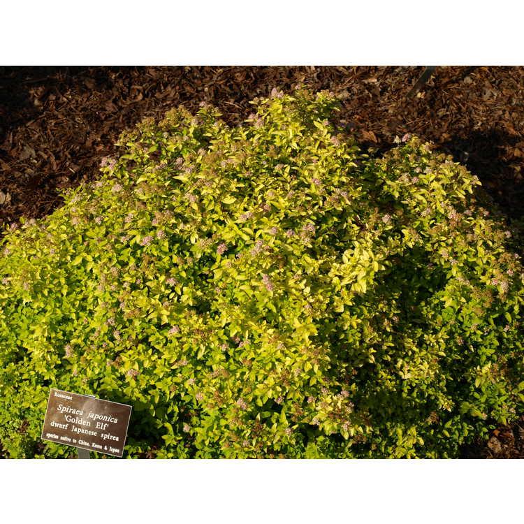 Spiraea japonica Golden Elf