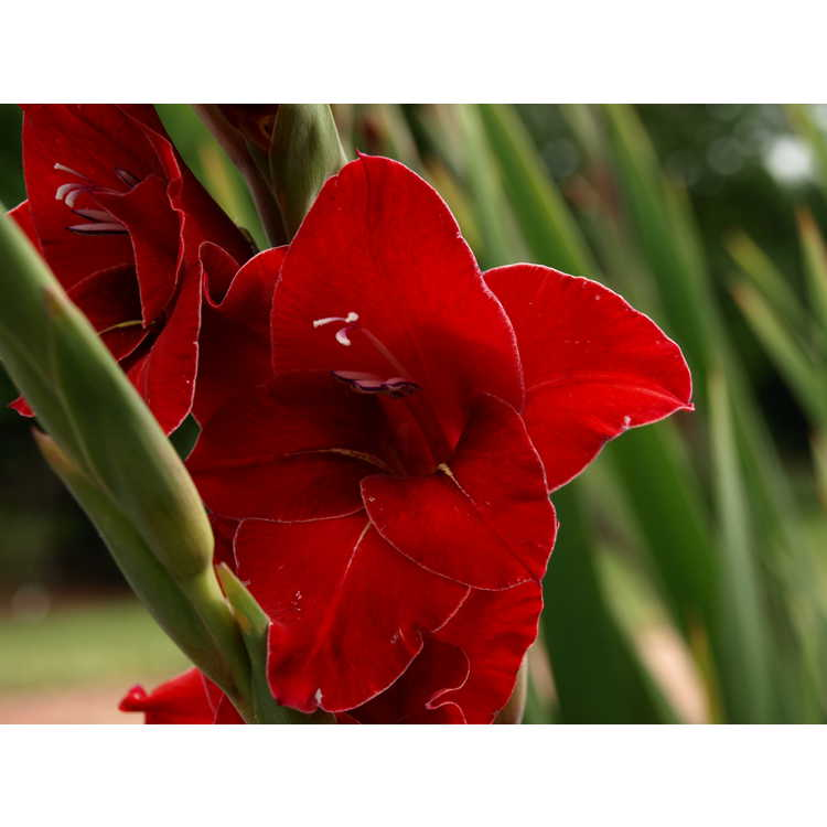 Gladiolus Flevo Junior
