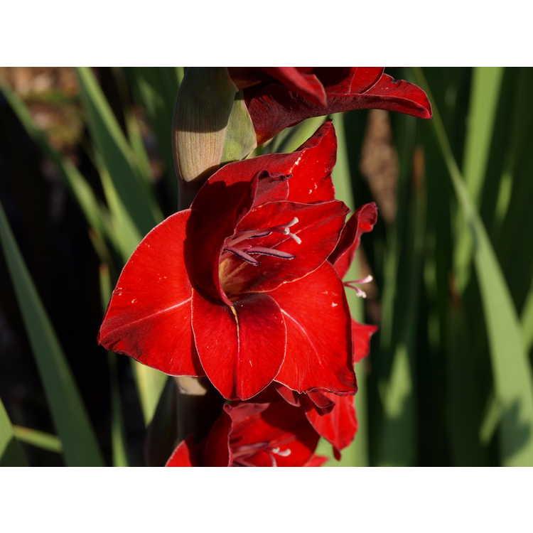 Gladiolus 'Flevo Junior' - hybrid gladiolus