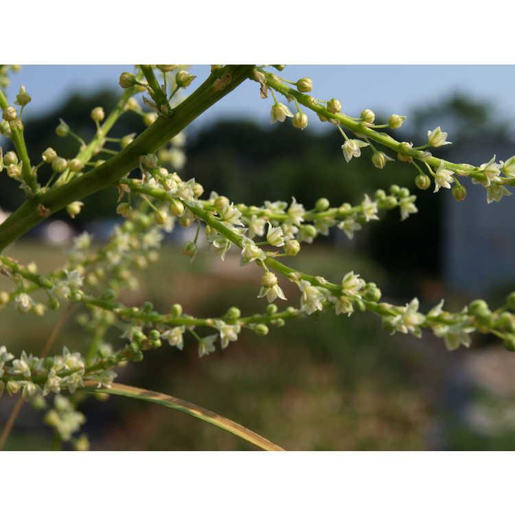 Nolina longifolia - Oaxacan tree