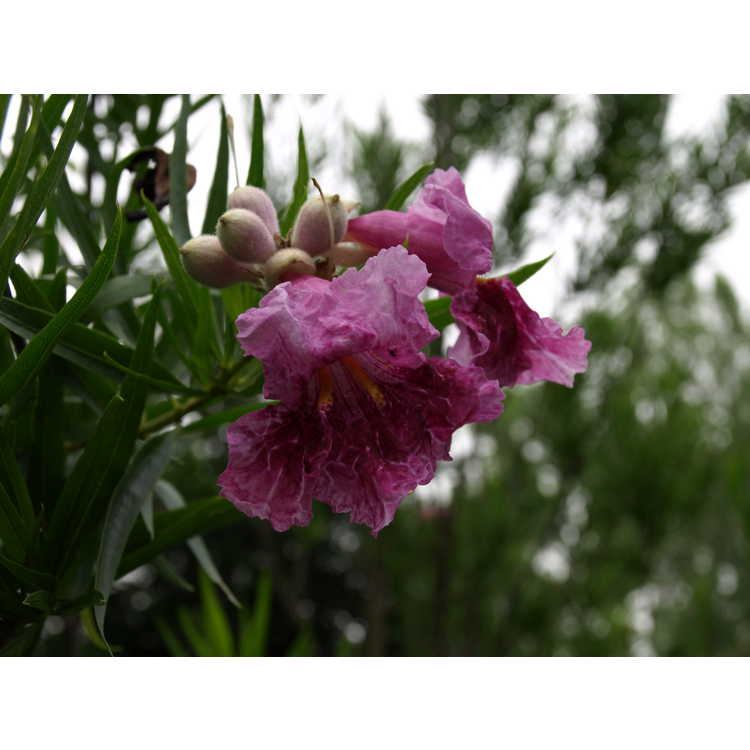 Chilopsis linearis 'Bubba' - desert willow