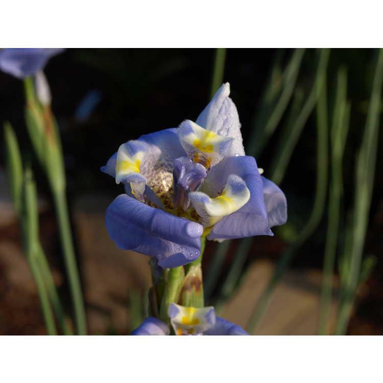 Cypella coelestis - goblet flower
