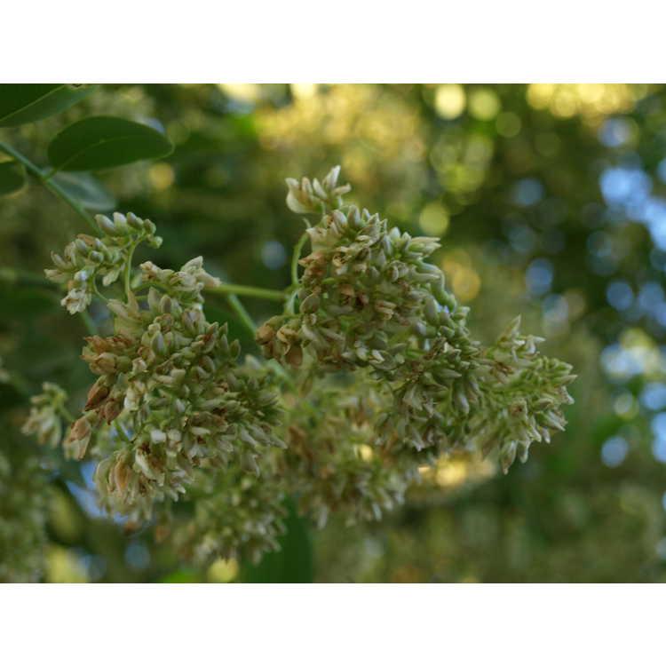 Dalbergia hupeana