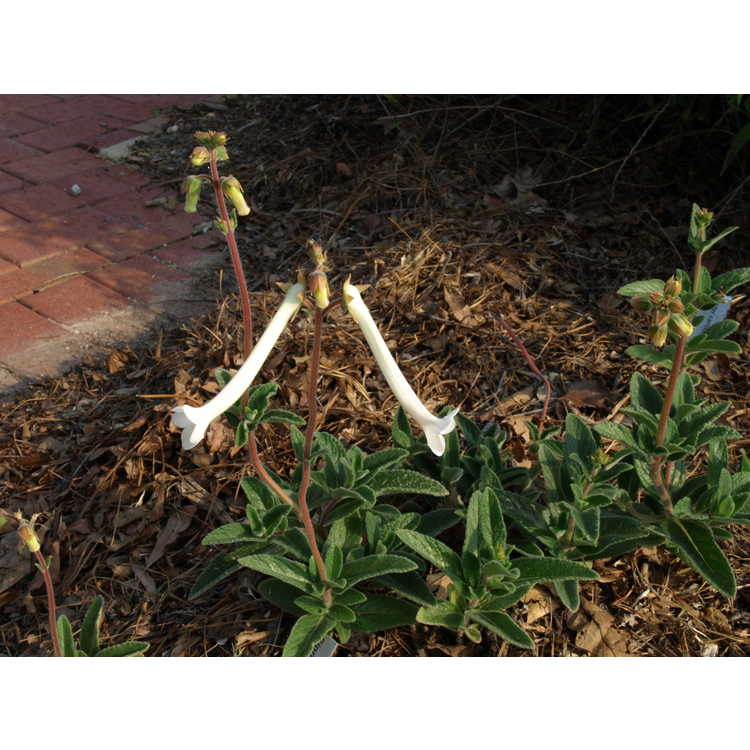 Sinningia tubiflora - hardy white gloxinia
