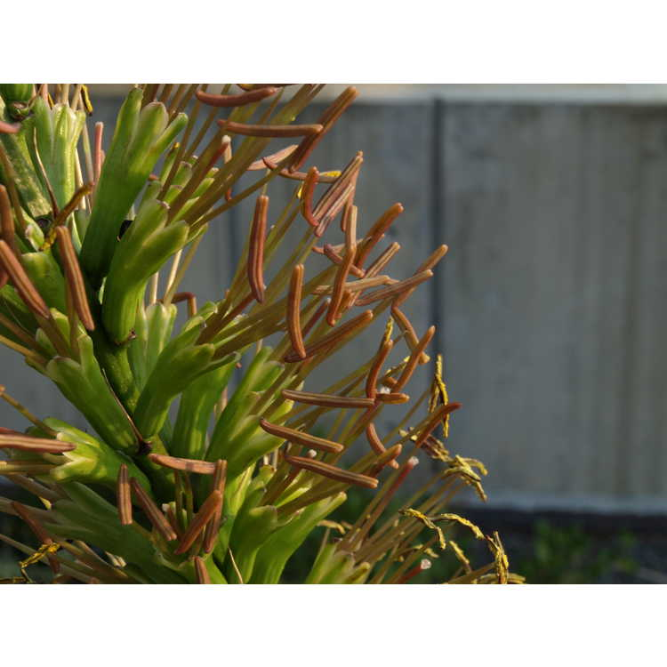 Agave tenuifolia - slender-leaf agave