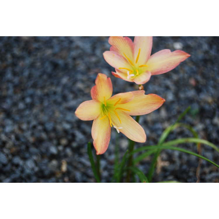 Zephyranthes 'Bali Beauty'