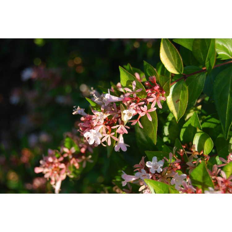 Abelia ×grandiflora 'Canyon Creek'