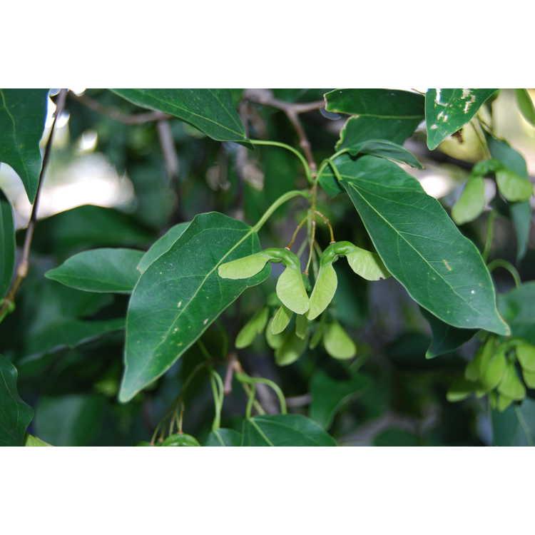 Acer oblongum - flying moth maple