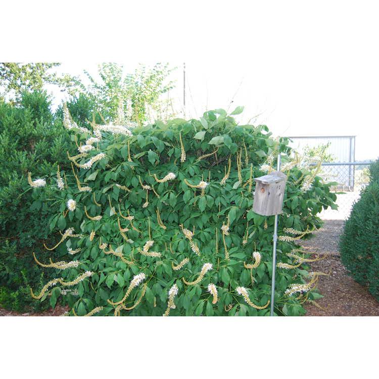 Aesculus parviflora 'Rogers' - bottlebrush buckeye