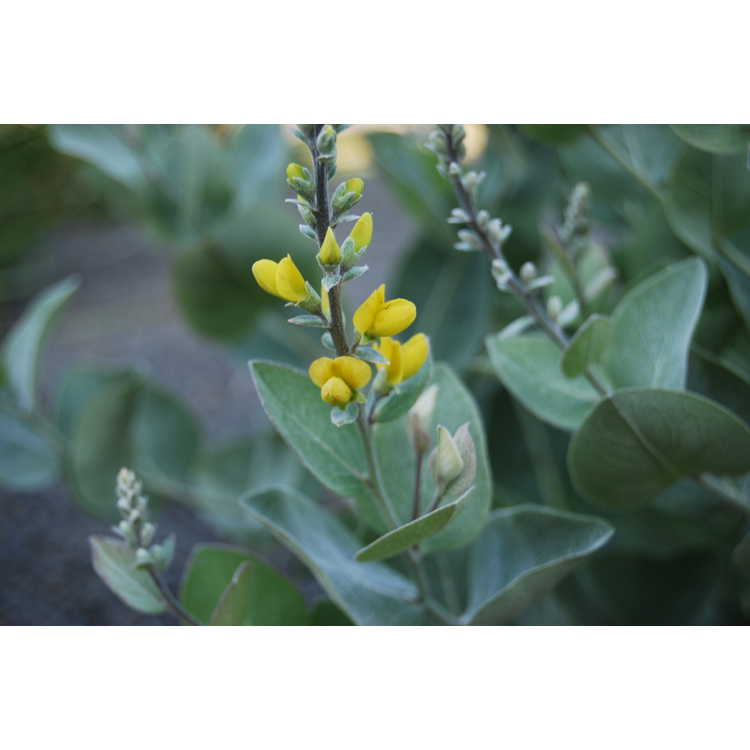 Baptisia arachnifera × B. simplicifolia
