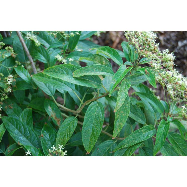 Clerodendrum cyrtophyllum